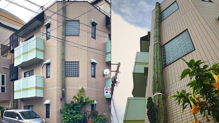 Viral di Media Sosial Kaktus Ini Tumbuh Setinggi Gedung 3 Lantai